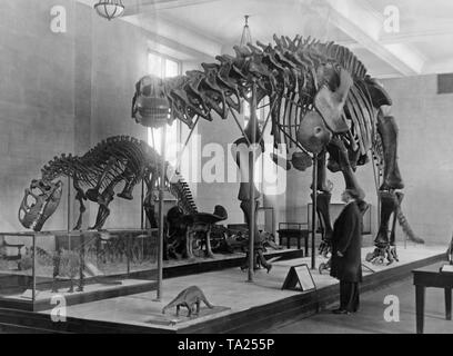 This photograph shows dinosaur skeletons exhibited in the American Museum of Natural History in New York, with a Brontosaurus in the foreground, followed by an Allosaurus. Both skeletons were excavated in the Wyoming Lake area. - Stock Photo