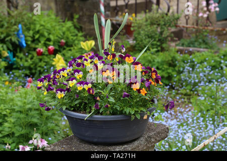 Beautiful bright pansies in the garden near the house. - Stock Photo