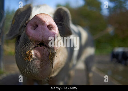 Happy pig at a farm rolling around in the mud on a beautiful day in sunshine - Stock Photo