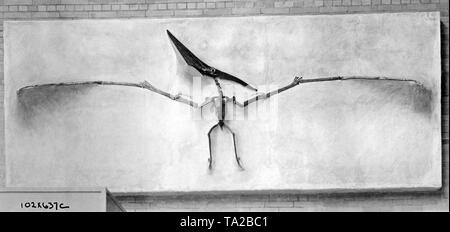 This photograph shows the skeleton of a pterosaur, also called a flying dragon, exhibited at the Peabody Museum at Yale, New Haven, Connecticut. - Stock Photo