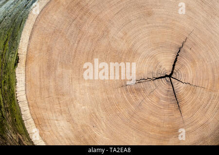 African teak / afromosia / afrormosia (Pericopsis elata) hardwood cross-cut / cross section showing annual growth rings / tree rings - Stock Photo