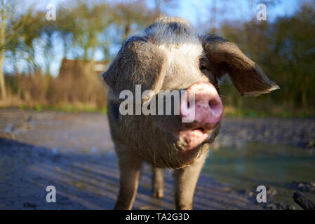 Happy pig at a playfarm for children on a beautiful day in sunshine - Stock Photo