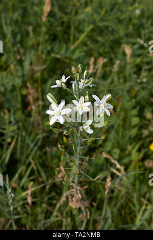 Ornithogalum narbonense white flowers - Stock Photo
