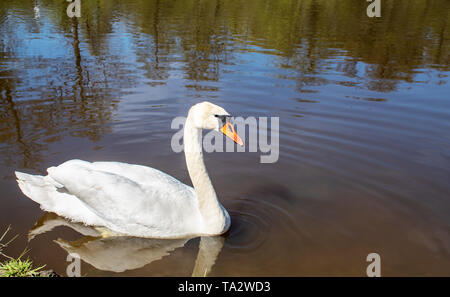 beautiful white swan swimming in a pond on sunny summer day - Stock Photo