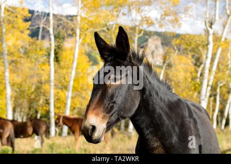 Black Mountain Horse - Close-up of a strong young black horse in a mountainside aspen grove. Owl Creek Pass Road, Southwest of Colorado, USA. - Stock Photo