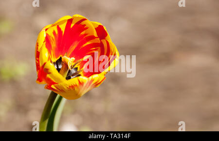 single bright red and yellow tulip outdoor on sunny summer day closeup - Stock Photo
