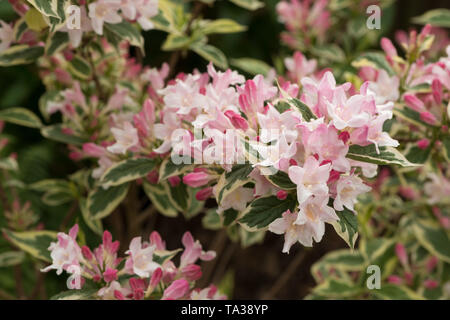 Weigela florida 'Variegata' lots of attractive rosy pink flowers on creamy white edged green variegated leaves - Stock Photo