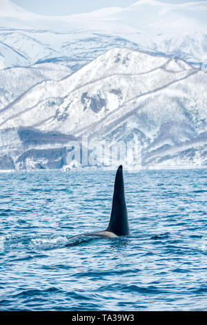 Orca or killer whale, Orcinus Orca, travelling in Sea of Okhotsk. Snow-covered mountains on the background.  Natural habitat. - Stock Photo