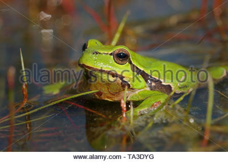 Portrait of the European green frog in a pond. A common European toad in its natural habitat on a horizontal close up picture. - Stock Photo