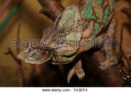 Veiled Chameleon on a close up horizontal picture with a large cockroach in its mouth. A common desert reptile species often bred as a pet. - Stock Photo