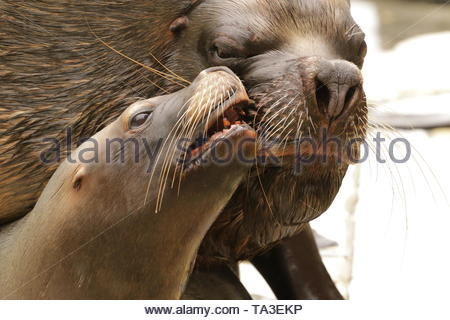 A couple of southern sea lions kissing each other. A close up portrait of mating marine mammals. - Stock Photo