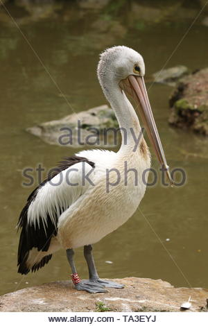 Great white pelican resting on a bank of the lake. - Stock Photo
