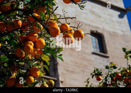 Orange tree with the Silk Exchange building in the background (La Lonja de la Seda). Valencia, Spain - Stock Photo