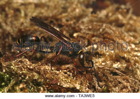 A solitary wasp species, which builds nests out of mud, on a close up horizontal picture. It is native to some regions of Asia and invasive to Europe. - Stock Photo