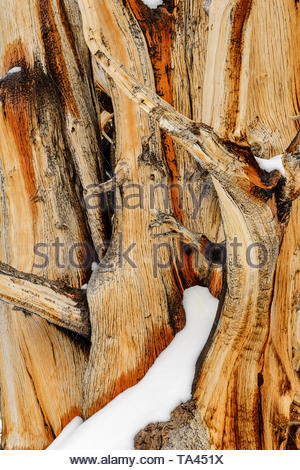 Snow on Ancient Bristlecone Pine, White Mountains, Inyo National Forest, California - Stock Photo