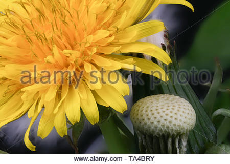 Lyrical flower arrangement with dandelion flowers in different stages of genesis on a black background macro photography - Stock Photo