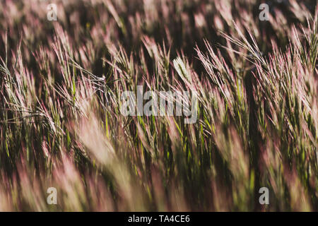 Close-up of wild wheat growing in the field with golden highlights at sunset. nature background - Stock Photo