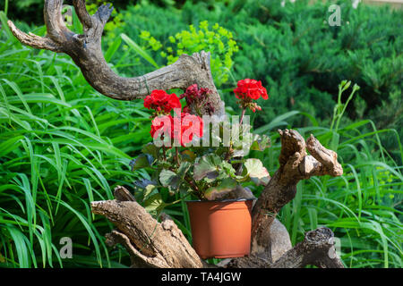 Red pelargonium flower on a decorative wood branch and green grass and plant in the background. Home and garden decorative flower. Close up - Stock Photo