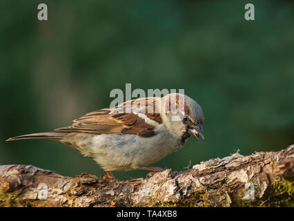 Close view on the House sparrow (Passer domesticus) sitting on a fallen tree trunk.Spring in Poland.Horizontal view. - Stock Photo