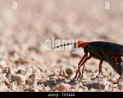 Orange and black big master blister beetle (Lytta magister) walking on desert sand in Red Rock Canyon near Las Vegas, Nevada, USA - Stock Photo