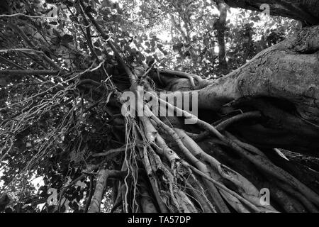 Ficus religiosa or sacred fig tree in monochrome. - Stock Photo
