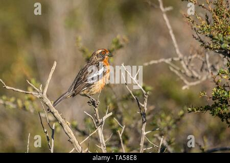 Rufous-tailed Plantcutter (Phytotoma rara), male, Torres del Paine National Park, Region de Magallanes, Patagonia, Chile - Stock Photo