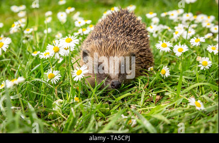 Hedgehog, (Scientific name: Erinaceus Europaeus) wild, native, European hedgehog in natural garden habitat with green grass & white daisies. Landscape - Stock Photo