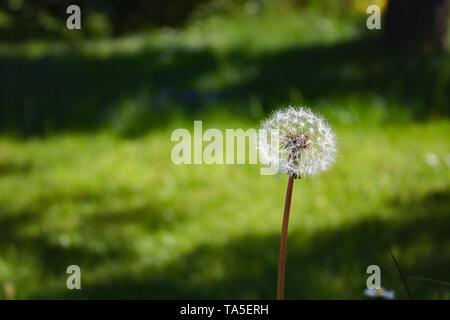 Dandelion Flower (sead head/clock) in front of green background.