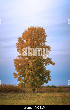 Old tall poplar with yellow leaves on autumn meadow - Stock Photo