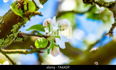 White flower buds with pink touches on the apple tree branch with a blurred background, wonderful sunny spring day - Stock Photo