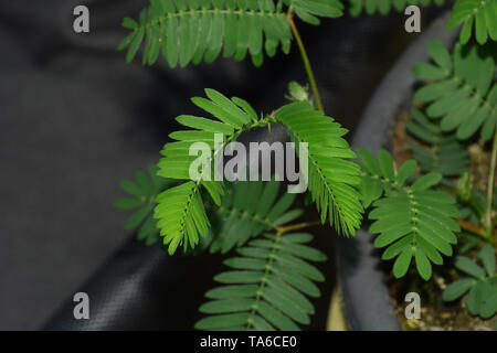 sensitive mimosa pudica or sleepy plant or dormilones or zombie plant with contact hairs that move when touched, touch me not plant macro shot - Stock Photo