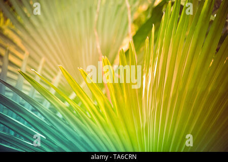 Palm leaf background / palm tree with big leaves green with filter summer tropical plant in the jungle forest - Stock Photo