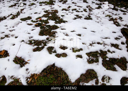 Woodland and forest ground covered with layer of snow. close up. Part of winter snow in field. White snow background. Snow on grass texture. - Stock Photo