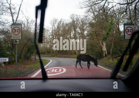 A donkey in the New Forest national park England walks across the road over a 30 MPH speed limit warning road markings seen from the POV of a driver. - Stock Photo