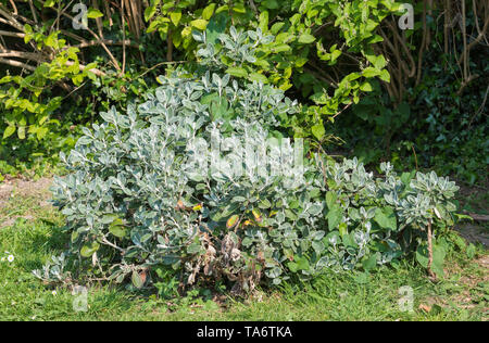 Stachys byzantina (Lamb's ear, Woolly hedgenettle) plant, a specis of Stachys, showing fluffy and fury leaves in Spring in West Sussex, England, UK. - Stock Photo