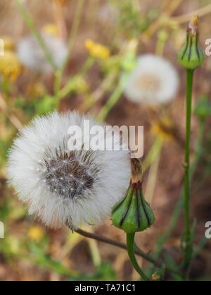 Tragopogon dubius. Western salsify. Dandelion flowers with buds. Milky fluff. Wild flower. Close up - Stock Photo