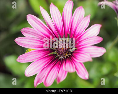 Purple Osteospermum flowers or pink daisy bushes is known as the African daisies. Dimorphotheca ecklonis is an ornamental evergreen perennial plant. - Stock Photo
