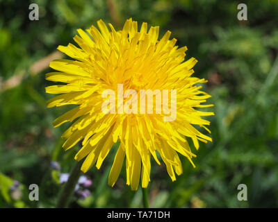 Taraxacum officinale commonly known as common yellow dandelion grow in wild meadow. Close up of blooming flower head in the background of green grass. - Stock Photo