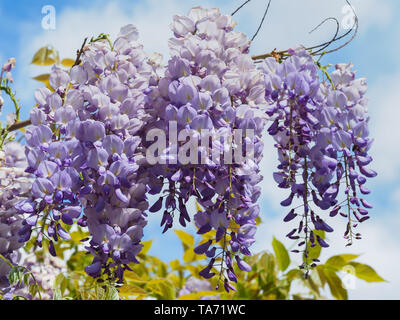 Flowering violet Wisteria Sinensis. Beautiful Prolific tree with purple flowers in hanging raceme. Blue Chinese wisteria is species of Fabaceae family - Stock Photo