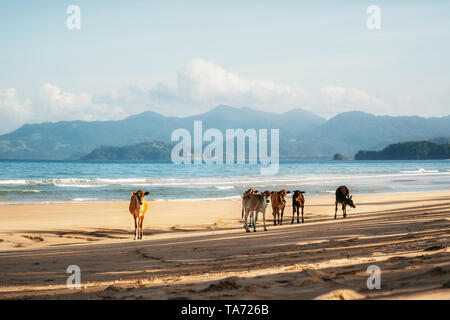 Brown cows stand on sand of Long Beach in San Vincente against sea, Palawan, Philippines - Stock Photo
