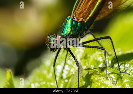 Detailed Head View of a Male Demoiselle Agrion Damselfly (Calopteryx virgo) also known as Beautiful Agrion, at Rest on a Warm Spring Day. - Stock Photo