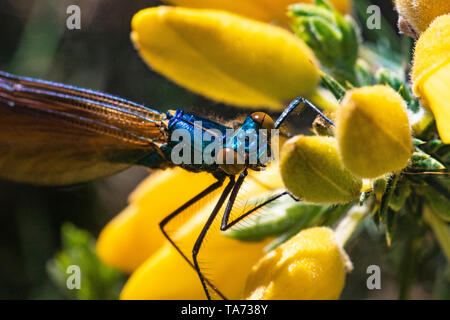 Detailed Head Shot of a Male Demoiselle Agrion Damselfly (Calopteryx virgo) Resting on a Gorse Flower on a Warm Spring Day. - Stock Photo