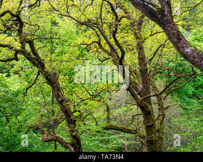 Oak trees in Spring in Strid Wood at Bolton Abbey Yorkshire Dales North Yorkshire England - Stock Photo