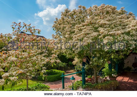 Photinia fraseri, Red Robin, ornamental, tree, shrub, showing red-tipped leaves in mid-May, Germany. - Stock Photo