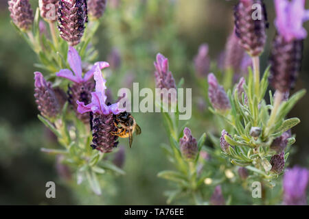 UK, Leicestershire - May 2019: Bee collecting pollen from French Lavender, Macro