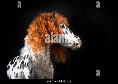 Miniature Appaloosa. Portrait of adult horse, wearing curly wig. Studio picture against a black background. Germany - Stock Photo