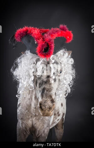 Miniature Appaloosa. Portrait of adult horse, wearing a tricorne hat. Studio picture against a black background. Germany - Stock Photo