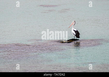 Beautiful solitary pelican on an isolated rock in the middle of the sea, Penneshaw, Kangaroo Island, Southern Australia - Stock Photo