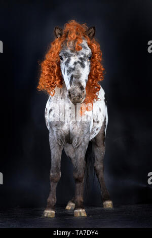 Miniature Appaloosa. Adult horse, wearing curly wig and tricorne hat standing. Studio picture against a black background. Germany - Stock Photo
