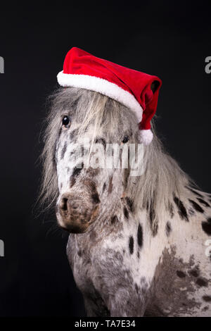 Miniature Appaloosa. Portrait of adult horse, wearing Santa Claus hat. Studio picture against a black background. Germany - Stock Photo